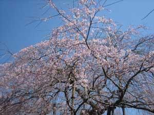 般若院の桜