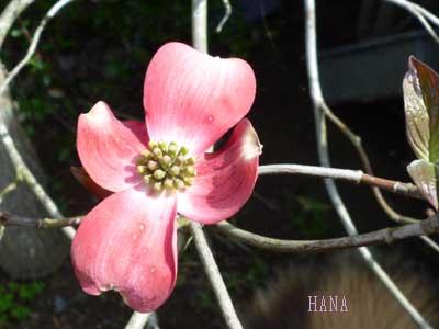ハンミズキ(花水木)